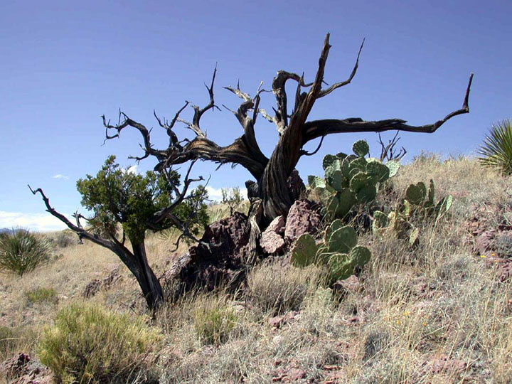 The twisted remains of a desert tree stand on a hillside, surrounded by cactus and new desert growth.