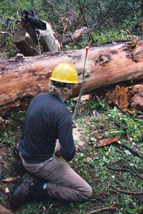 A man in a yellow hard hat, using a hard hat to cut a felled tree into sections.