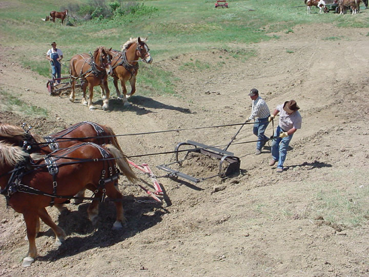 Several teams of large horses pulling a Fresno scraper, moving soil together to form an embankment.