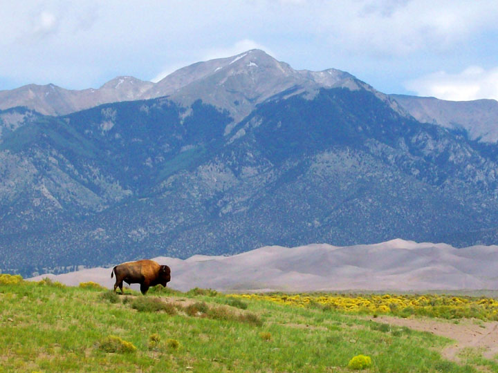 A lone bison standing on a patch of green grass, contrasted against gray sand dunes in the background, with a tall mountain peak towering over the surroundings.