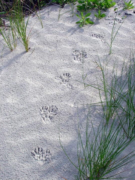 A set of raccoon tracks winds between green grass on a white beach.