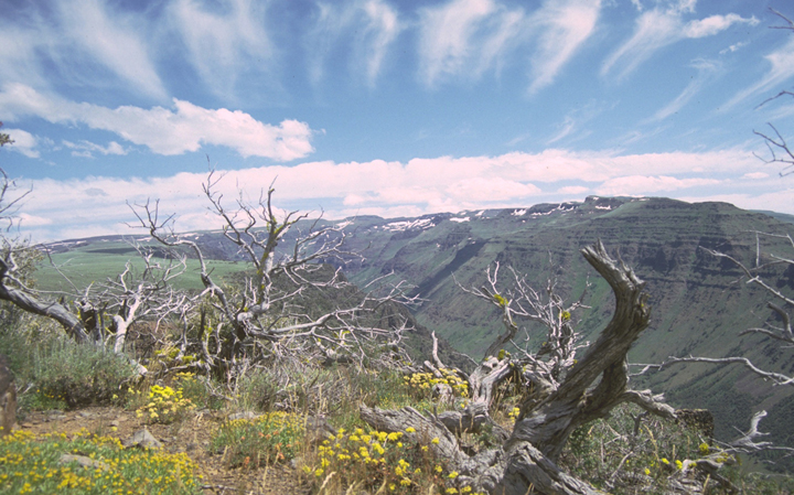 Dead twisted trees sit among small yellow flowers on the edge of a gorge with white wispy clouds above.