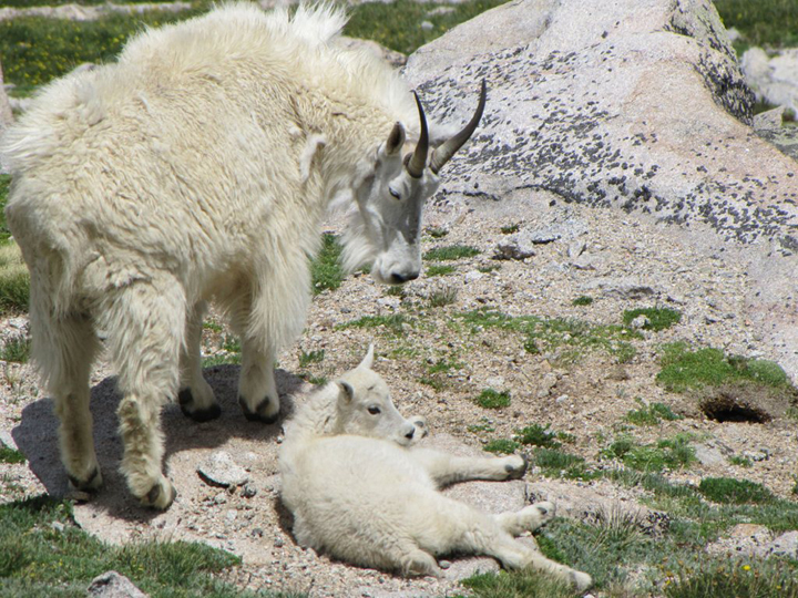 An older mountain goat with long black horns looks down on a kid basking in the sun.