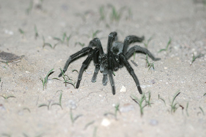 A close up of a large black desert spider, on a background of white sand, with small green weeds.