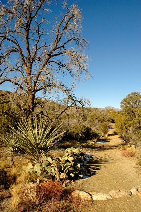 A tall dead tree borders a desert trail surrounded by cactus and desert foliage.