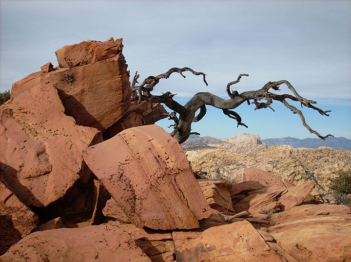 A gnarled tree on Windy Peak frames Bridge Mountain in the distance and provides stark contrast against the sandstone ridgeline.