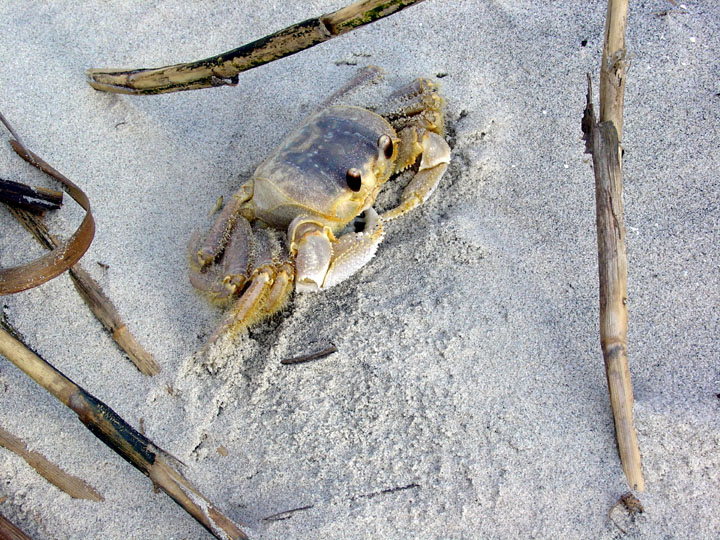 A pale yellow and gray ghost crab lies partially buried in white sand.