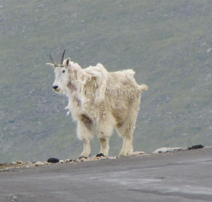 A mountain goat, still shedding its winter coat, stand on the side of an alpine hill.