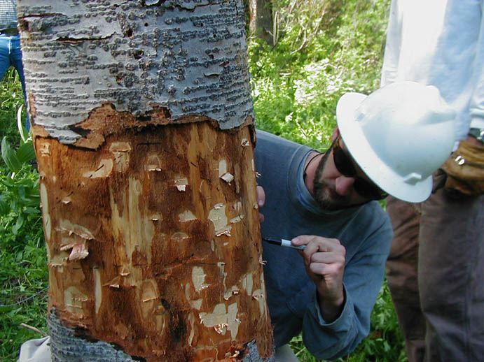 A man in a white hard hat, making guide marks on a tree trunk in preparation for removal.
