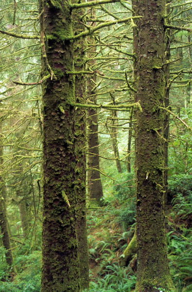 A close up of several Sitka Spruce trees that are covered in light green moss in the Siuslaw National Forest in Oregon.