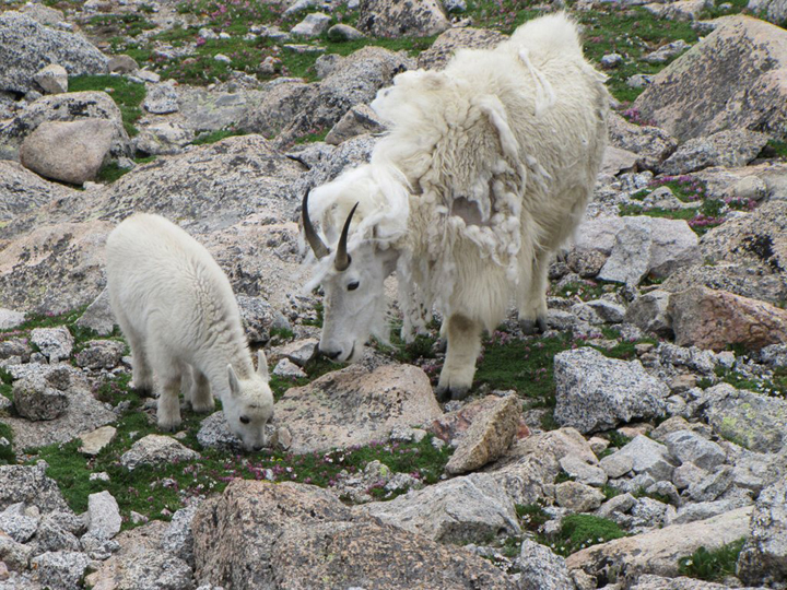 Two mountain goats, one nanny and a kid, eat small alpine plants growing among the rocks.