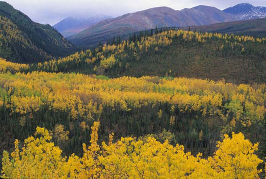 Clusters of Aspen trees turn yellow in autumn.
