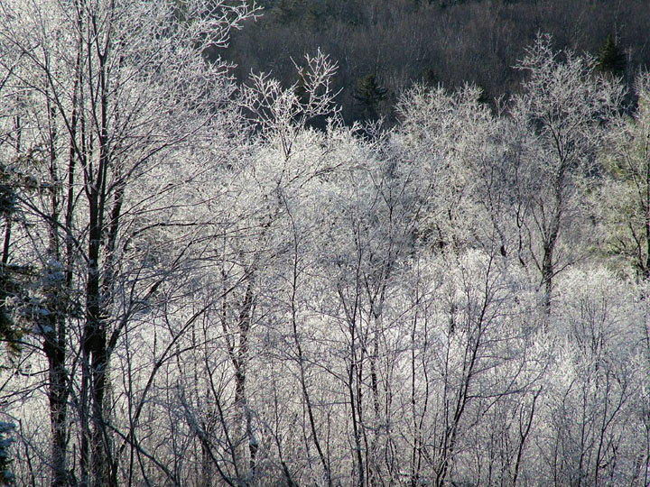 Wispy trees covered in a fine white frost.