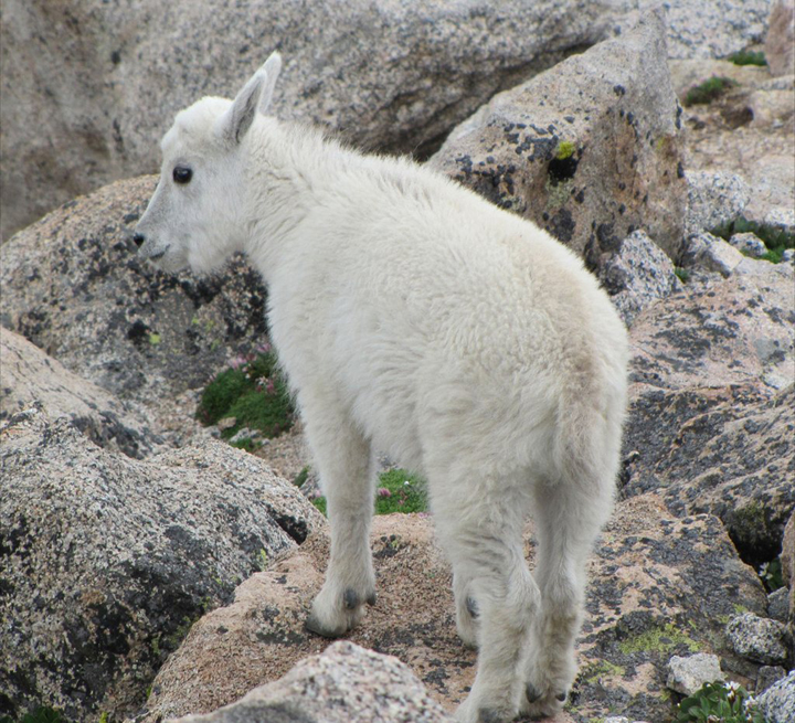 A young mountain goat with a pure white coat, stands among the rocks.