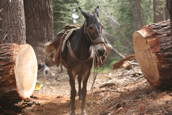 A mule stands between a the two peices of a cut tree. Mules need logs to be cut out a minimum of four feet on each side of the centerline of the trail in order to avoid banging their pack boxes.