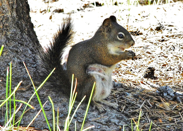 A small ground squirrel enjoys a snack at the base of a tree.