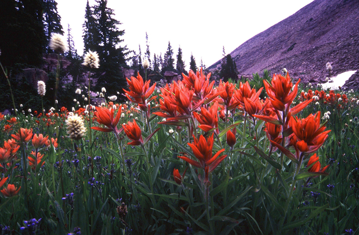 Large fire-red flowers grow up from green vegetation in a small field surrounded by trees on one side and mountain slopes on the other.