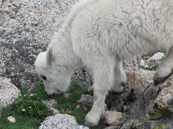 A young mountain goat eats the alpine vegetation growing among the rocks.