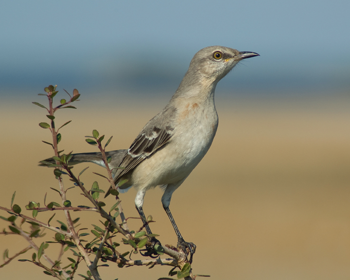 A close up of a dapper looking mockingbird perched on a branch.