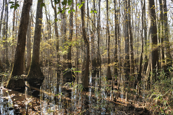 Cypress trees rise up out of the murky brown waters.  The scene is bathed in sunlight.