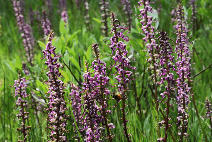 Tall slender stems support small bright purple flower that resemble the shape of an elephant's head.