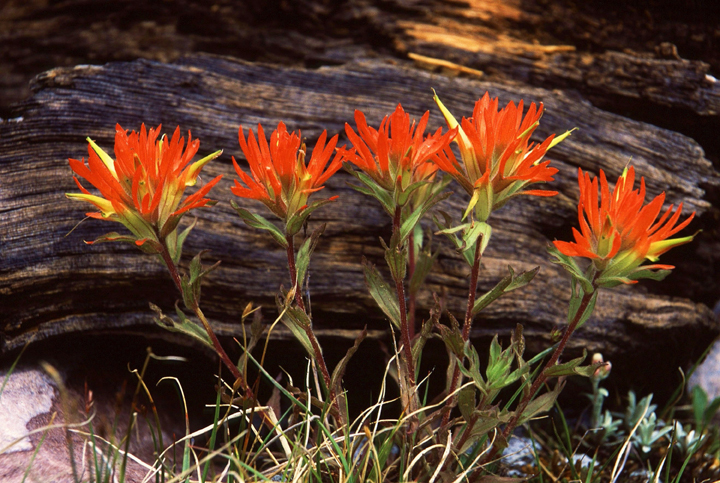 A group of fire-red flowers grow up from underneath a downed log.