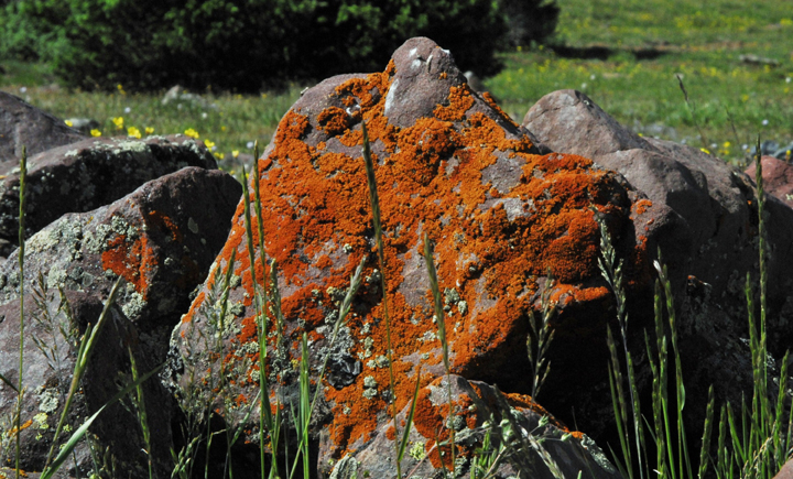 A rust orange lichen grows on the side of a large rock lying in a grassy meadow.