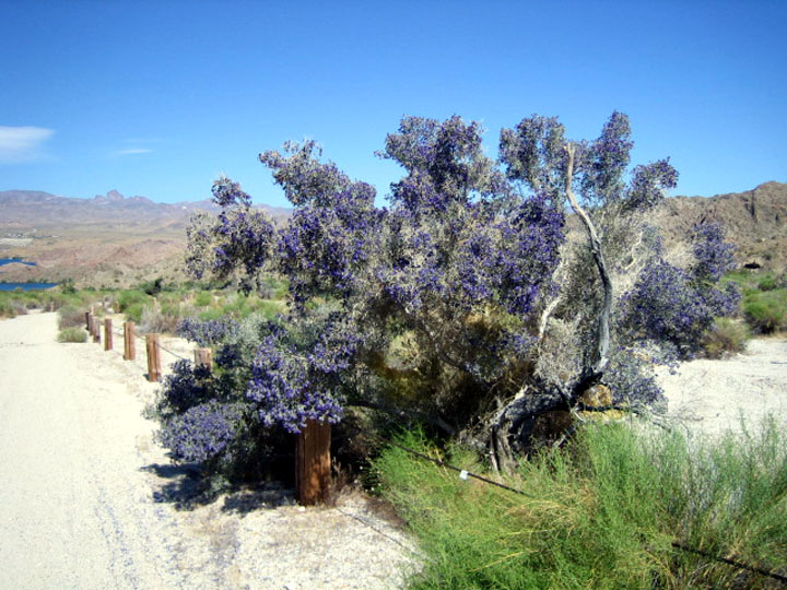 A small bushy tree covered in purple blossoms, standing next to a desert road.