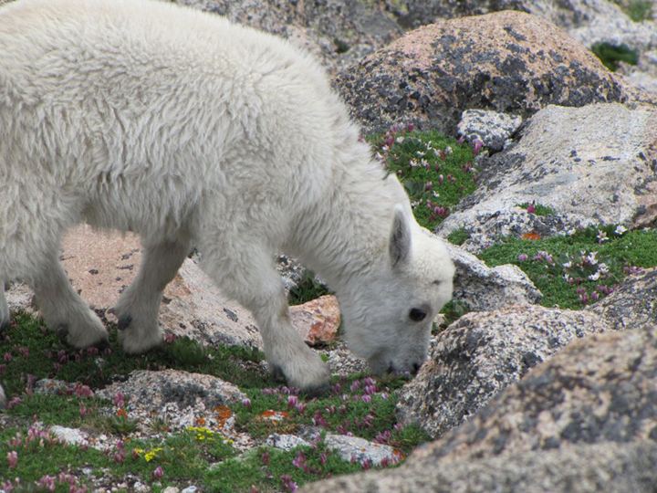 A young, white mountain goat eats among purple and yellow alpine flowers.