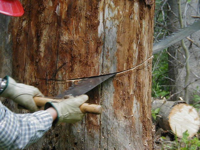 A close-up of a person using a hand saw to fell a large dead tree.