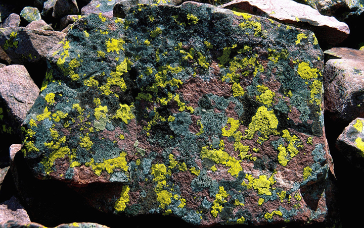 A boulder covered in multi-colored lichens from light grey-blue to a lime green color.