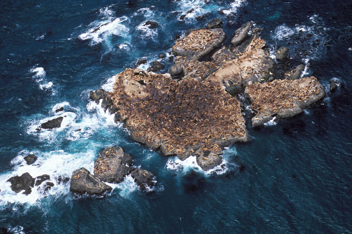 An aerial view of a small rock island barely rising out of the seething blue sea, covered in hundreds of brown sea lions.