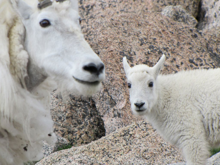 Two fluffy white mountain goats stand among the rocks.