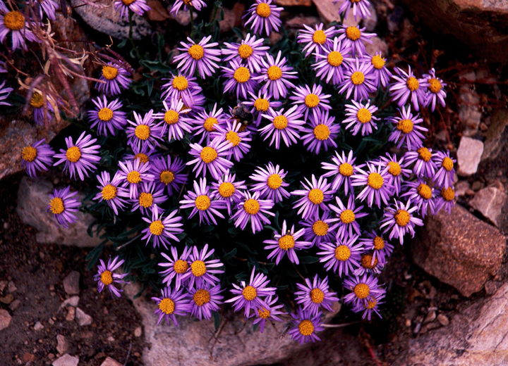 A cluster of small light purple flowers with yellow-orange centers grow among the rocks.