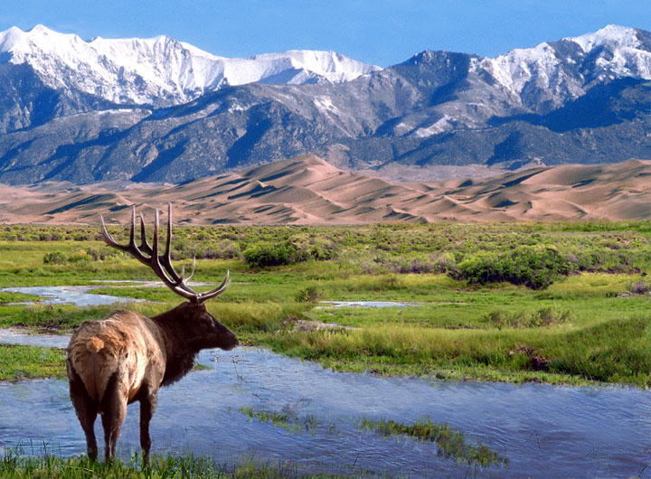 A large bull elk poses near a small stream and looks over the green marsh to golden sand dunes and snowcapped mountains in the distance.
