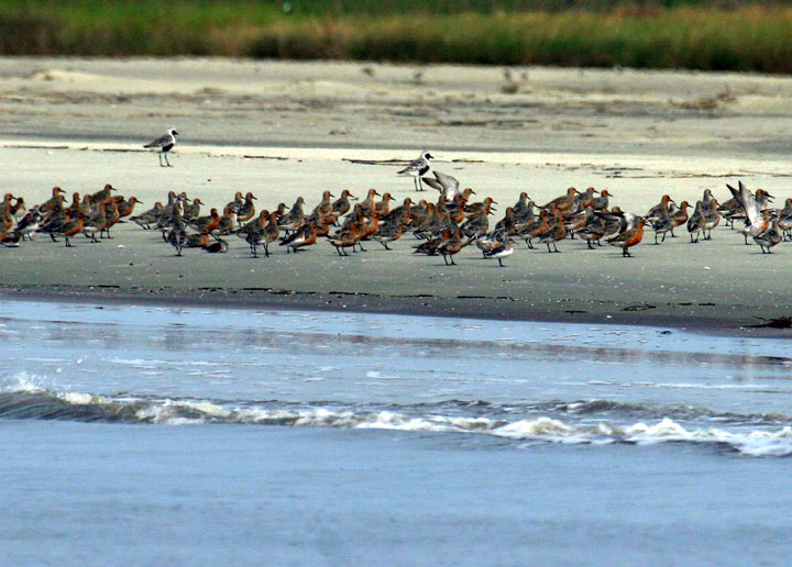 A group of ruddy shorebirds standing on white sand along the waters edge.