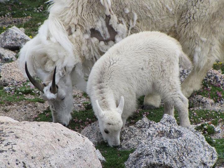 Two white mountain goats eat alpine vegetation growing among the rocks.