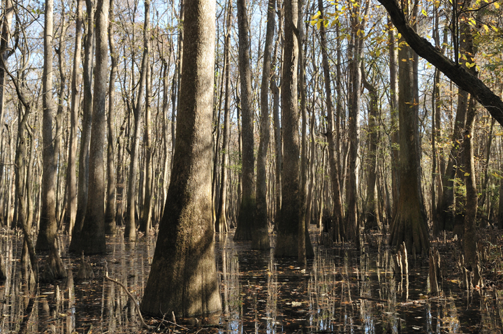The brown cypress trees tower in this scene, emerging from the murky brown water like sentinels of a primal wood.