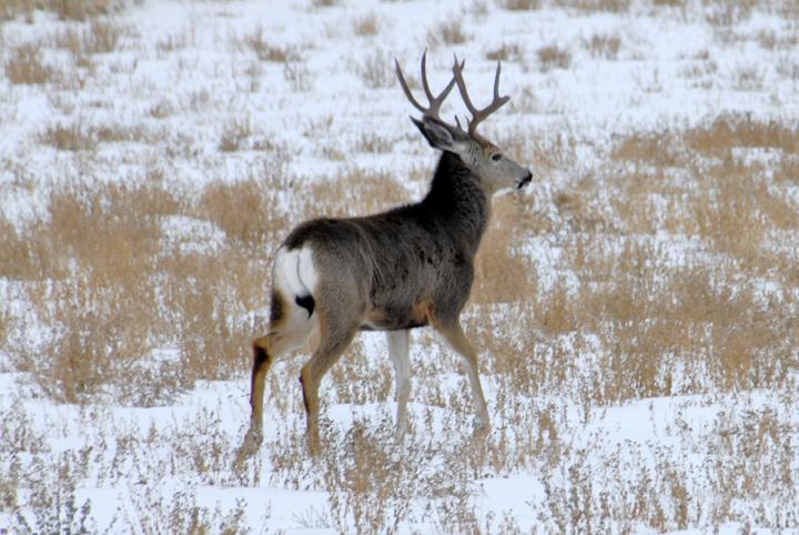 A dark brown mule deer walks through the snow and low brush.