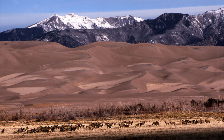 A large herd of elk standing in a field of golden grass, with immense sand dunes rising up behind the herd.