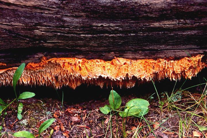 Orange Sponge Polypore fungi growing underneath a log early in the season.