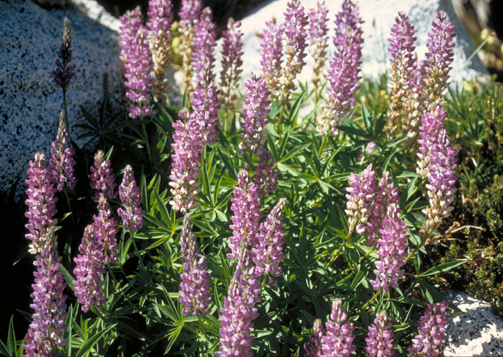 A close up of purple flowers reveals long green stalks and graceful, semi-fluted heads.