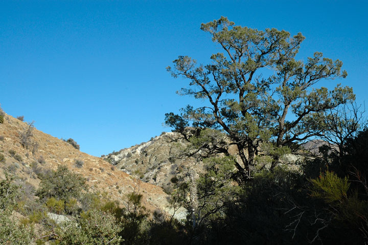 A large bushy tree rising out of the shadows, desert hills in the background contrast against the deep blue sky.