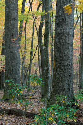 An intimate view of tree trunks and shrubbery in the Johns Creek Trail, Jefferson National Forest, Virginia.