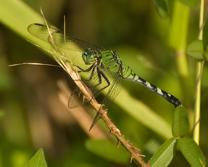 A close up of a brilliant green dragonfly.