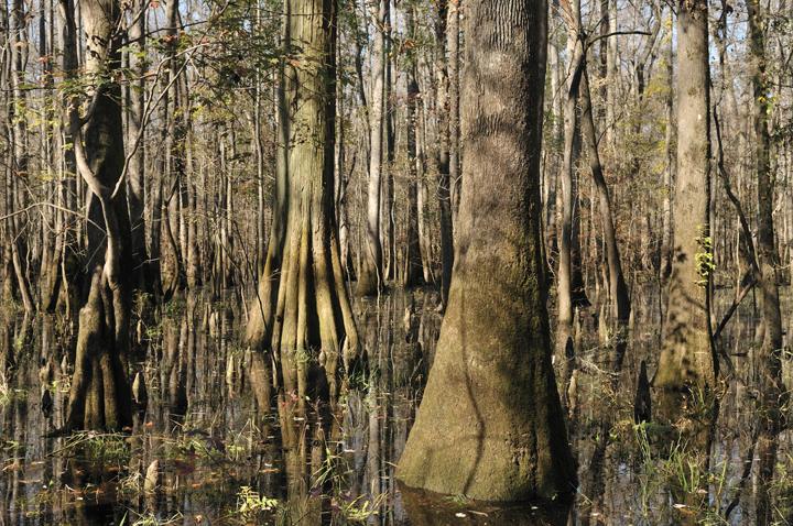Leaves litter the brown water, drifting in the shadow of big cypress trees.