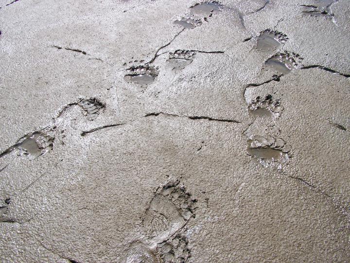 Two brown bear tracks in tidal mudflat.