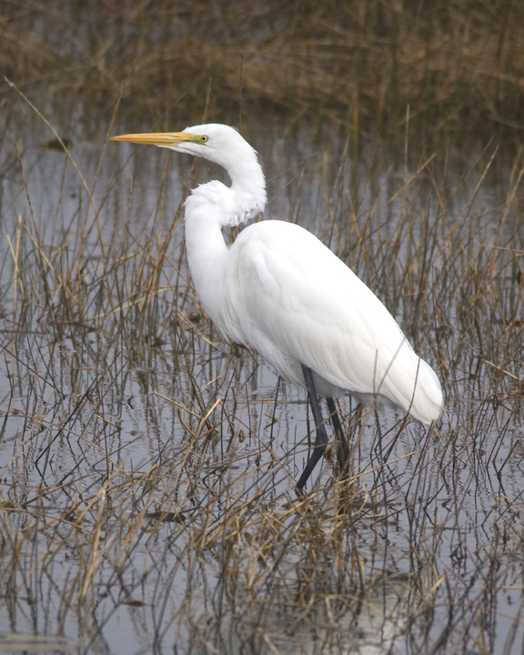 A majestic white bird wades in the marshy shallows.