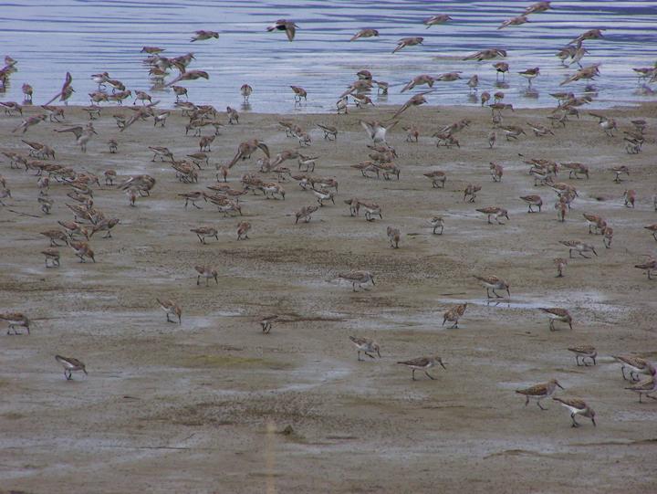 Small brown and white birds feeding along the shoreline.