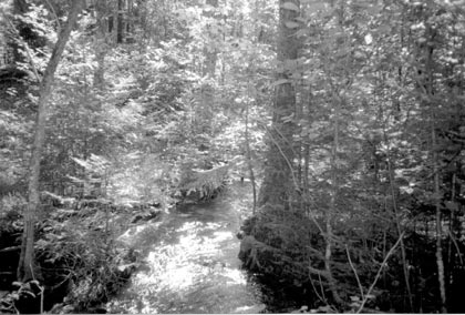 A black and white photograph of a small stream, flowing through dense forest.